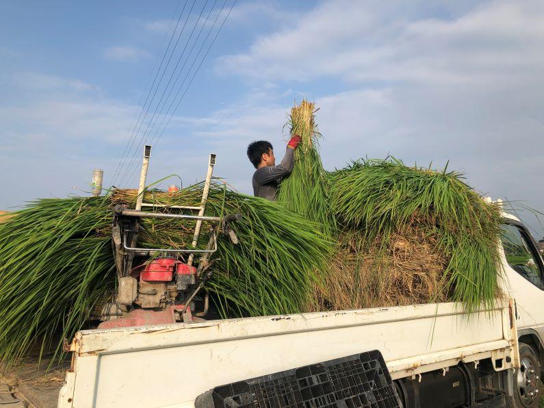 稲わら刈り取り